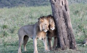 lion honeymoon