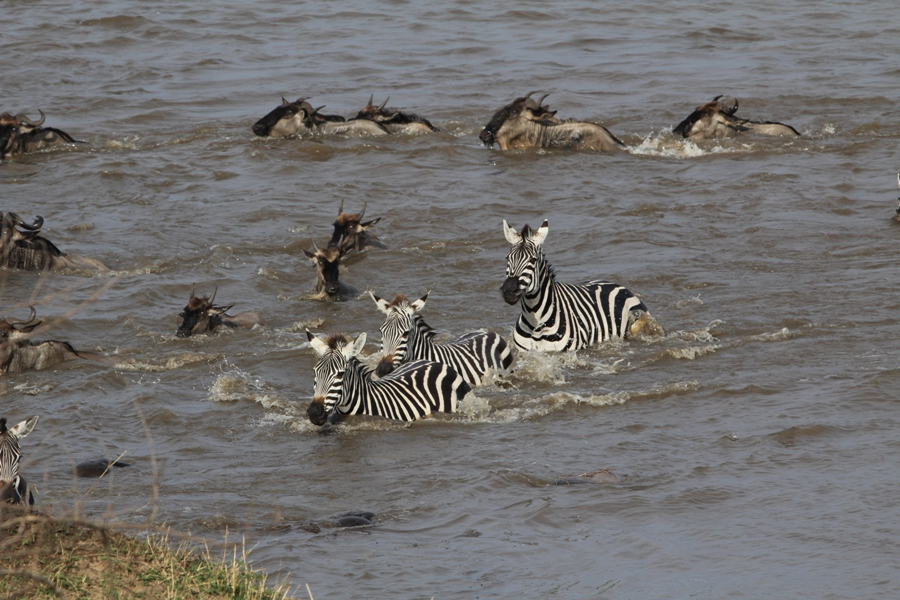 Wildebeest crossing the river.