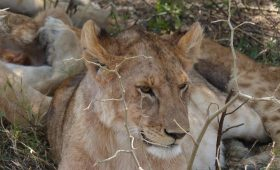 lions sitting under tree