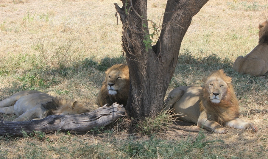 lions under tree