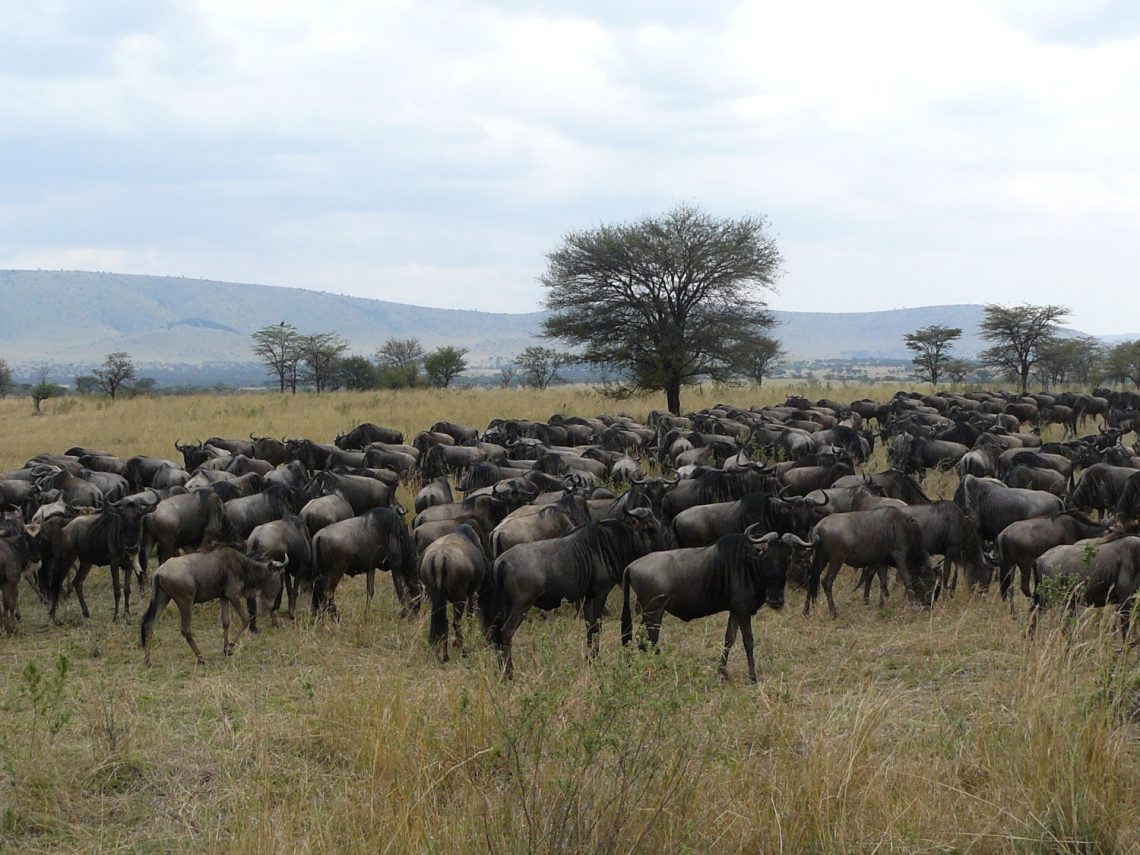 Wildebeests Great migration