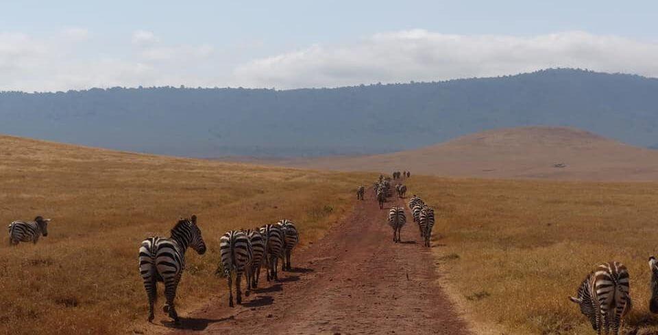 Game Zebra in Serengeti