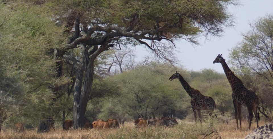 Girraffe in serengeti