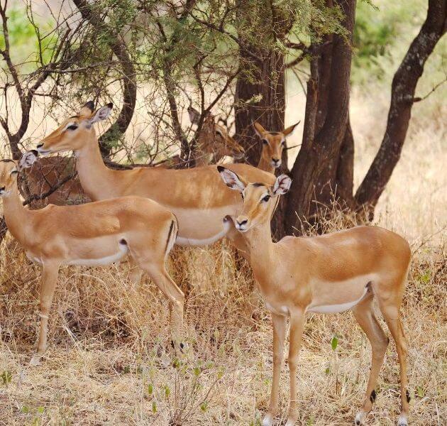 Tarangire Impalas