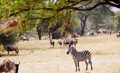Wilderbeest and Zebra