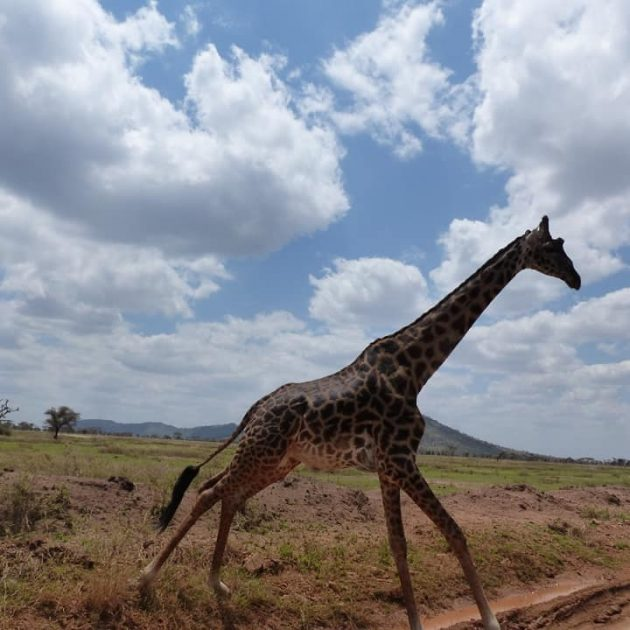 girraffe in park of ngorongoro