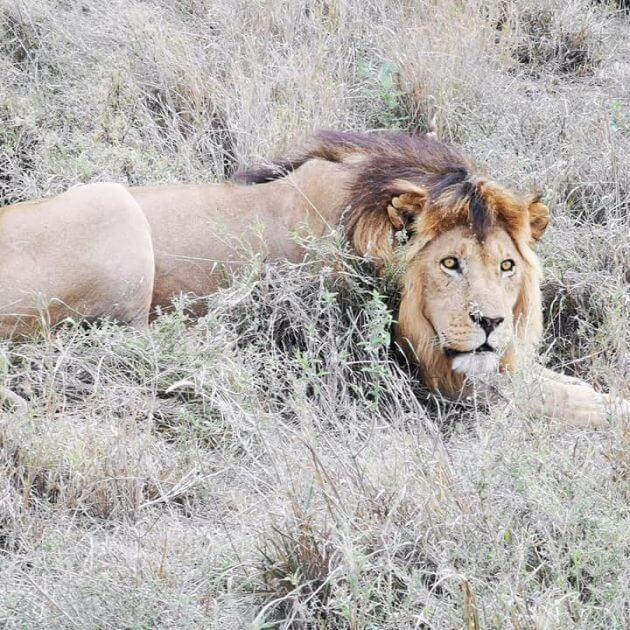 lion in tanzania park