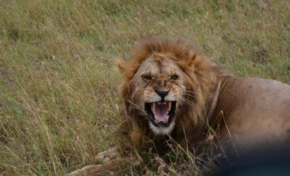 lion in the serengeti park of tazania