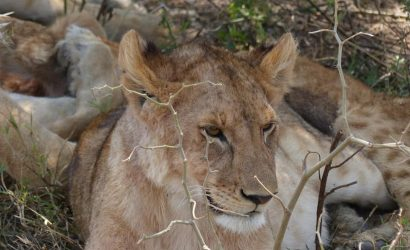 lions under tree