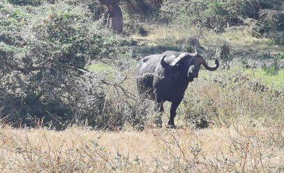 Buffalo in the tanznaia parks