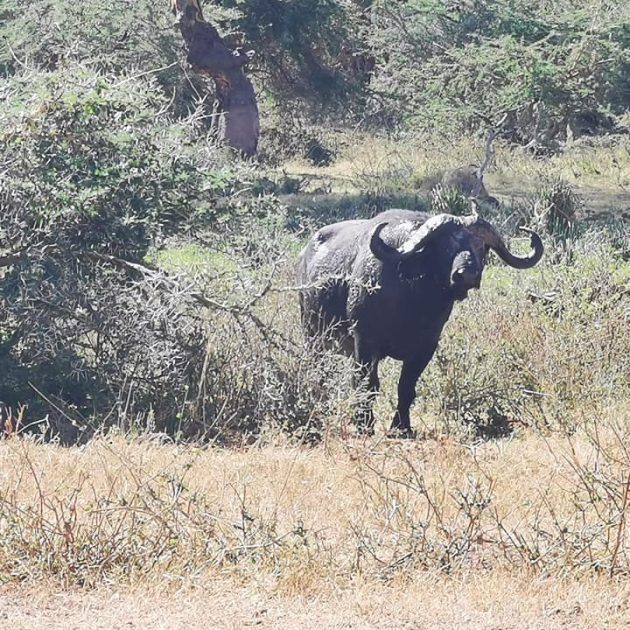 Buffalo in the tanznaia parks