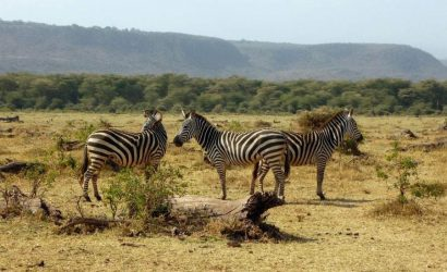 zebras-in-Manyara