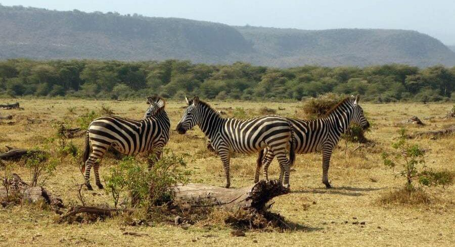 zebras in lake Manyara