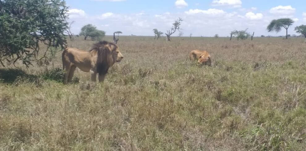 Lion in the park of tanzania tours