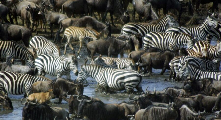 The Tanzania Serengeti migration