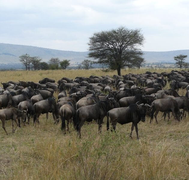 Serengeti Wildebeests Great migration