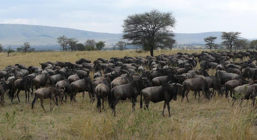 Serengeti Wildebeests Great migration