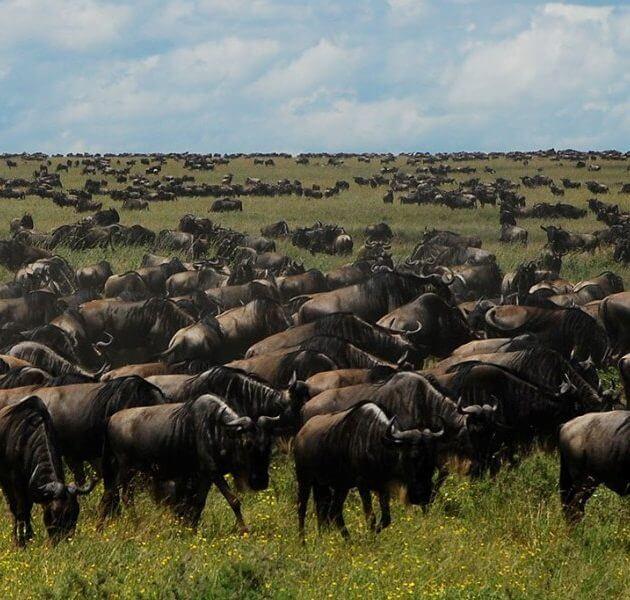Wildebeest Ndutu Calving Event, Serengeti, Tanzania