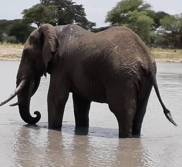 elephant drinking water in tarangire