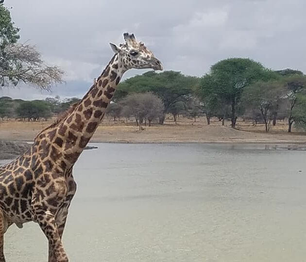 girafre tarangire