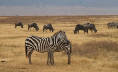zebra-safari in ngorongoro