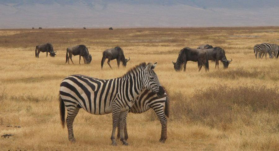 zebra-safari in ngorongoro