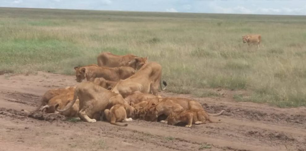 A group of lions in the bush