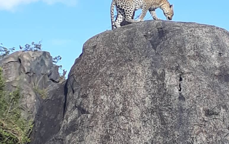 Cheetah on the rock in the bush