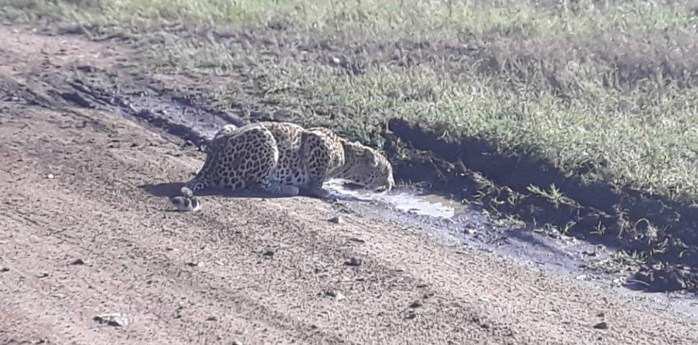 Cheetah drinking water
