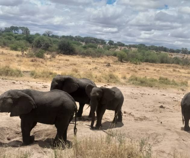 Elephants in the tanzanian parks