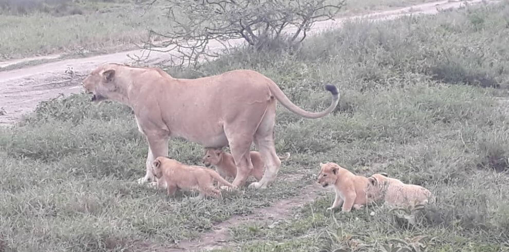 Lion and her babies