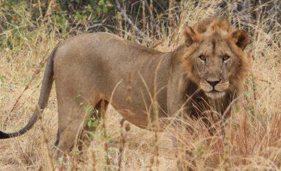 Lion in the bush grase
