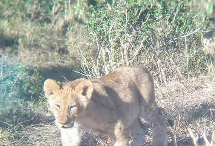Lion walking to the bush