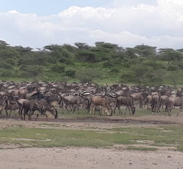 Migration in serengeti