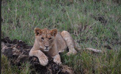lion in the grase hunting other animals