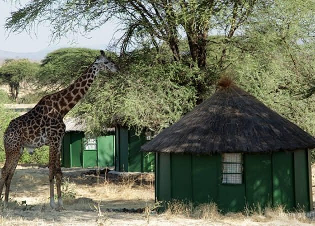 Giraffe in the Camp