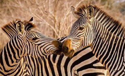 Zebra in mikumi