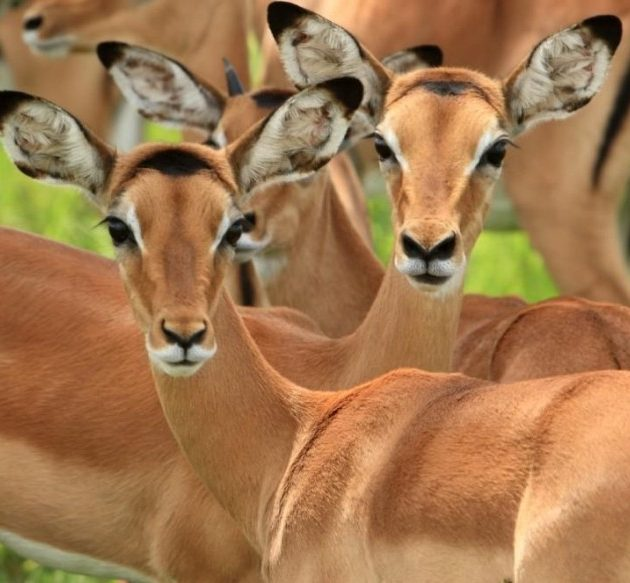 impalas in mikumi