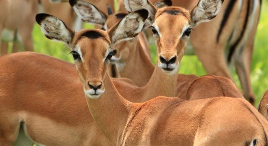 impalas in mikumi