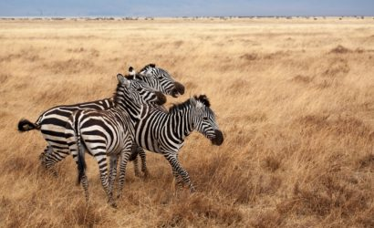 zebra-wildlife-ngorongoro