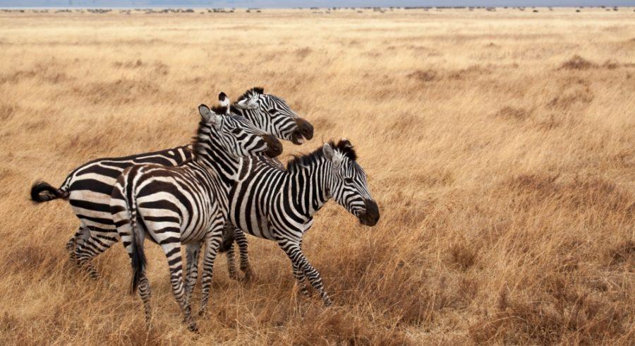 zebra-wildlife-ngorongoro